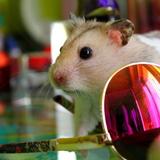 Crocmou - Hamster