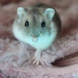 Michko - Hamster
