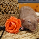 Rose - Rata