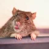 Patrik - Rat