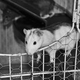 Yoda - Rat