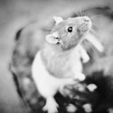 Nesta - Rat