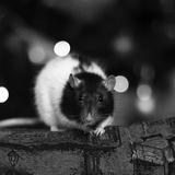 Mémoire de May - Rat