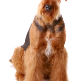 Max - Airedale Terrier