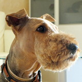 Nikita - Airedale Terrier
