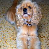 Golden (kitty yûki frère) - American Cocker Spaniel