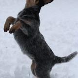 Niala - Australian Cattle Dog