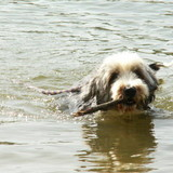 betty   - Bearded Collie