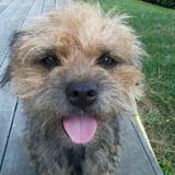 Heiwa - Border Terrier