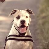 Ginny Grace - American Bulldog