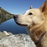 Cooper - Canaan Dog