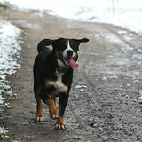 Kally - Greater Swiss Mountain Dog