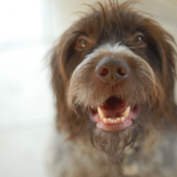 Jäger - Wirehaired Pointing Griffon