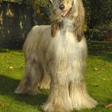 """""""Baick"""" - Afghan Hound"""