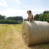 Mandy - Miniature Australian Shepherd