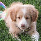 Chester - Nova Scotia Duck Tolling Retriever