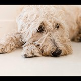 flanelle - Soft-coated Wheaten Terrier