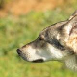 Grimm - Saarloos wolfdog