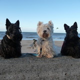 ANIS - Scottish Terrier
