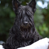 Britney Vénus Darli et Capt - Scottish Terrier