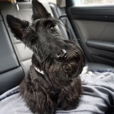 Ascott - Scottish Terrier