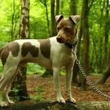 Haaron - Brazilian Terrier