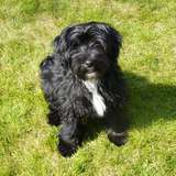 Harshad - Tibetan Terrier