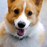 Riley - Cardigan Welsh Corgi