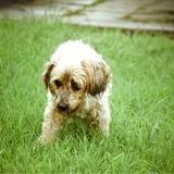 Rusty - Tibetan Terrier
