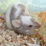 Chamallow & Tagada  - Mouse